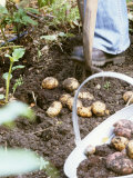 Harvesting Potatoes: Lifting Potatoes out of Ground with Fork