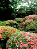 Azalea  Garden of Anraku-Ji Temple  Kyoto  Japan