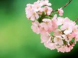 Cherry Blossoms and Hirosaki Castle