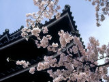 Cherry Blossoms  Matsue Castle  Shimane  Japan