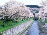 Cherry Blossoms on the Riverbank