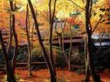 Maple Trees at Giou-Ji Temple in Autumn  Kyoto  Japan