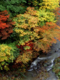 Stream and Maple Trees