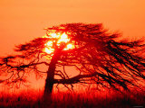 A Pine Tree and Sunrise