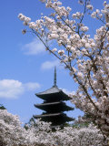 Pagoda of Ninnaji Temple and Cherry Blossoms