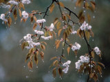Cherry Blossoms in the Rain