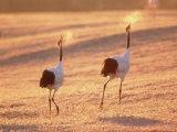 A Pair of Cranes  Tsurui Village  Hokkaido  Japan