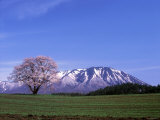 Cherry Blossoms and Mt Iwate