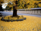 Ginko Leaves at Old Imperial Palace