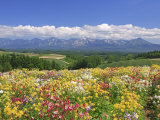 Columbines and Mt Tokachi Range