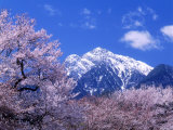 Cherry Blossoms and Mt Kaikoma