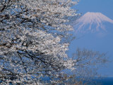 Cherry Blossoms and Mt Fuji