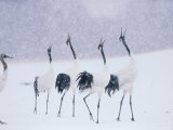 Cranes in the Tsurui Bird Sanctuary  Hokkaido  Japan