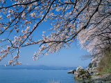 Cherry Blossoms at Lake Biwa