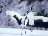 A Pair of Cranes  Hokkaido  Japan