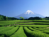 Mt Fuji and Tea Garden  Fuji City  Shizuoka  Japan