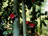 Camellia and Bamboo