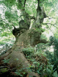 Old Zelkova Tree