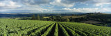 Clouds over Vineyards  Domaine Drouhin Oregon  Newberg  Willamette Valley  Oregon  USA