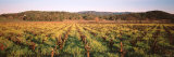 Rows of Vine in a Vineyard  Hopland  California  USA