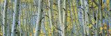 Aspen Trees in Rock Creek Lake  California  USA