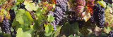 Close-Up of Red Grapes in a Vineyard  Finger Lake Region  New York  USA