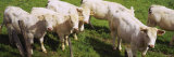 Herd of Cows Standing in a Field, Charolais, Burgundy, France Papier Photo par Panoramic Images