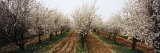 Almond Trees in an Orchard  Syria