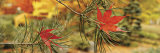 Maple Leaves Stuck on a Pine Tree Branch  Oregon  USA