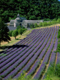 Senaque Abbey and Lavender Fields  Gordes  Provence  France