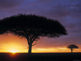 Acacia Tree at Sunrise  Serengeti National Park  Tanzania