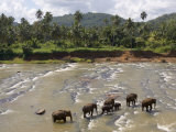 Pinnewala Elephant Orphanage Near Kegalle  Hill Country  Sri Lanka