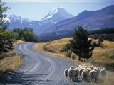 Sheep Nr Mt Cook  New Zealand