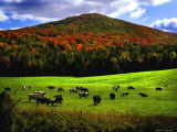 Vermont Cows