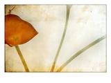 Study of Calla Lily
