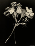 Wilted White Rose and Baby&#39;s Breath in Black and White
