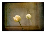 White Tulip against Framed Mirror