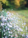 Blue Flowers in a Field Papier Photo par Judith Bartos