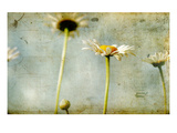 Study of White Daisies