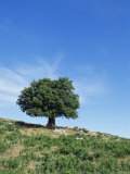 Olive Tree  Crete  Greece