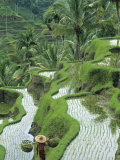 Rice Fields  Central Bali  Indonesia