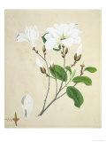 Magnolia  c1800-40