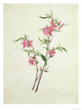 Flowering Peach  c1800-1840
