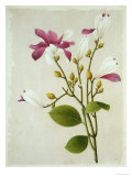 Purple Magnolia  c1800-40