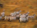 Zebras  Maasai Mara Game Reserve  Kenya