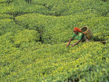 Tea Plantation  Kerala  Southern India