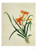 Common Day Lily  c1800-40