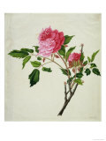 Pink Peony  c1800-1840