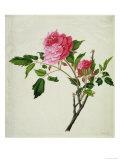 Pink Peony  c1800-1840