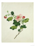 Chinese Botanical Illustration of Chinese Mallow